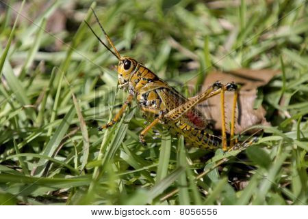 Floridian farbige grasshopper