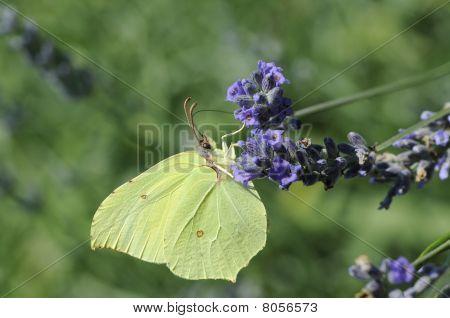 ein Schmetterling ist Essen, Lavander Blüten