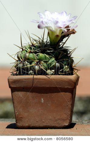 Cactus in einem Topf