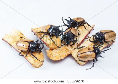 Close up yellow five horned beetle with sugar cane portion on wooden table poster