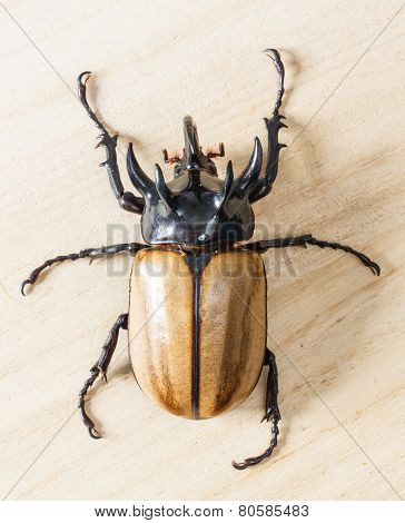 Close up yellow five horned beetle on wooden table poster