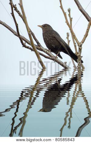 Blackbird Female With Water Refections
