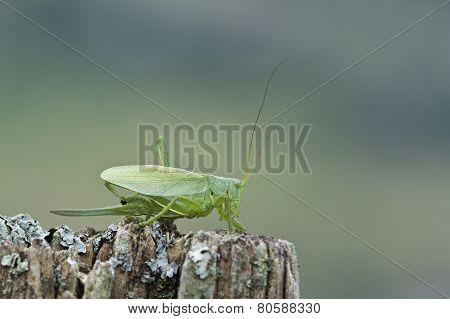 Great Green Grasshopper, Vosges, France