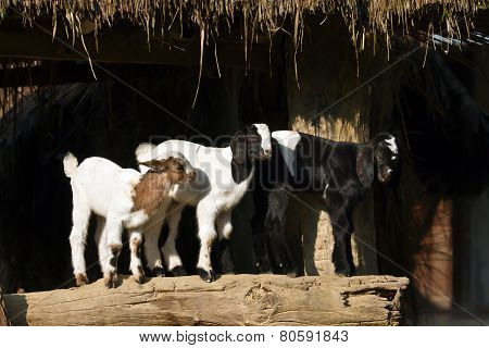 domestic babies goats in Nepal
