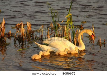 A Swan and its cubs