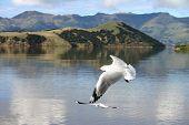 Flying Bird - Chrischurch - New Zealand poster