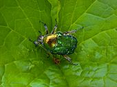 The Flower Chafer is a beautiful shiny emerald green and quite large beetle. poster