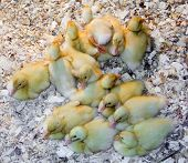 A pin full of new born ducklings.  poster