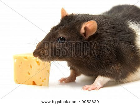 Home rat eating tasty cheese isolated on white poster