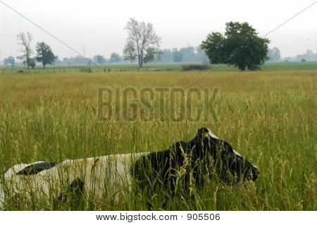 Cow Hiding In Field