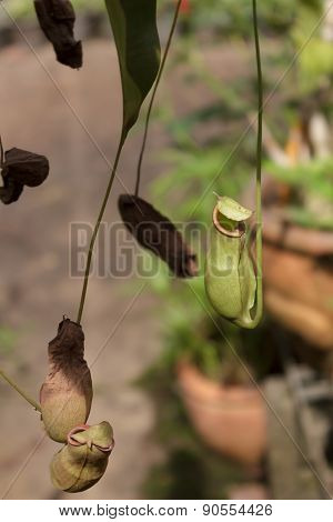 Nepenthes  for beautiful home and garden decor.