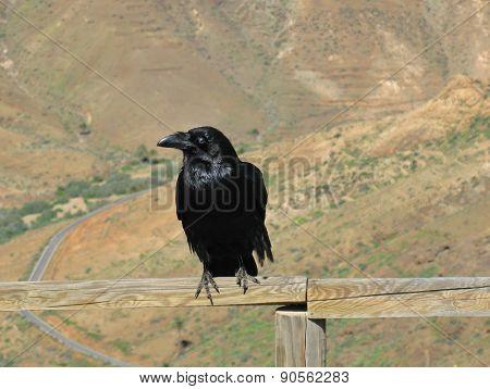 Ravens seen on Fuerteventura