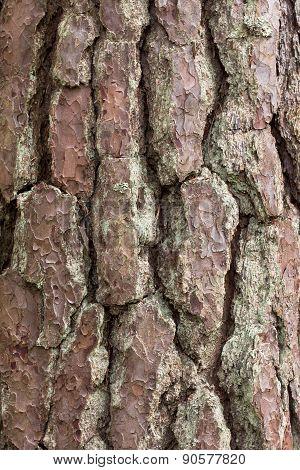 Pine Tree Crust Texture