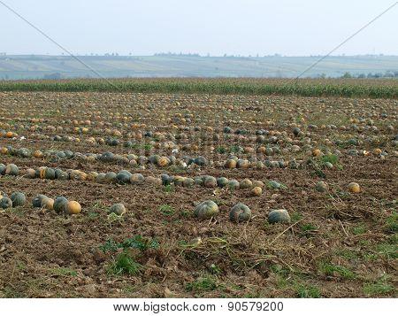 Autumn Harvest Of Pumpkins, Niederösterreich