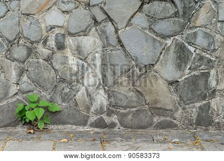 pipal leaf growing through crack in old sand stone wall