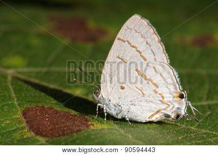 Hairstreak Lycaenida (hypolycaena Lochmophila) Resting On A Leaf