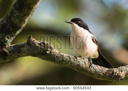 Tropical Boubou (laniarius Aethiopicus) Perched On A Branch