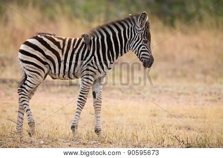 Small Zebra Foal Standing With Ox-pecker On His Back