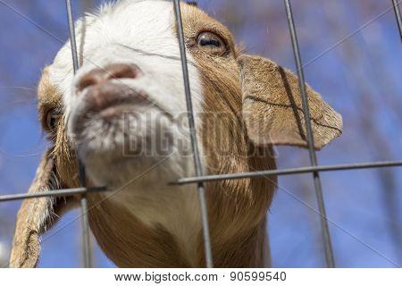 Kissing Goat