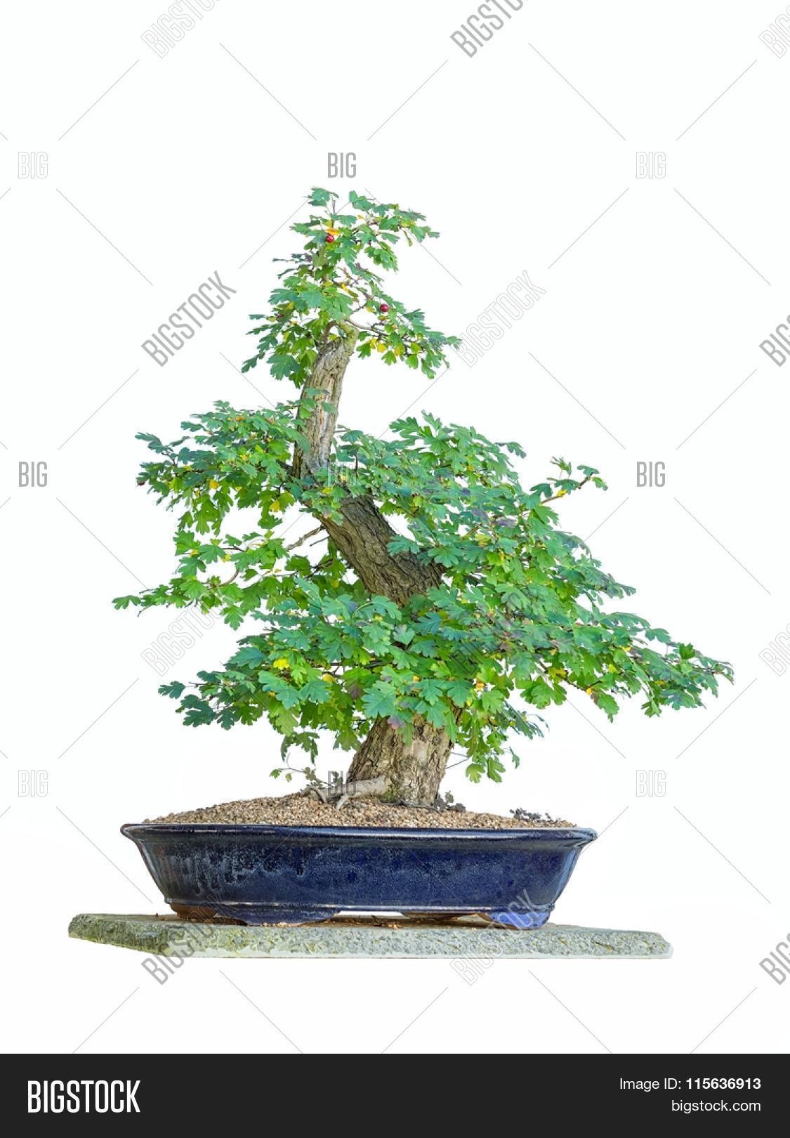 Bonsai Tree White Image Photo Free Trial Bigstock