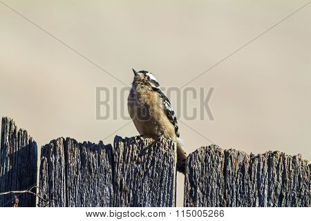 Female Downy Woodpecker (picoides Pubescens) On Fence