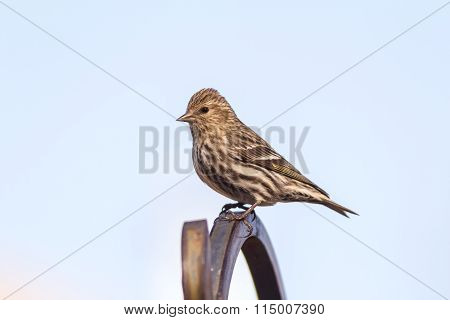 Female Purple Finch (haemorhous Purpureus) On Perch