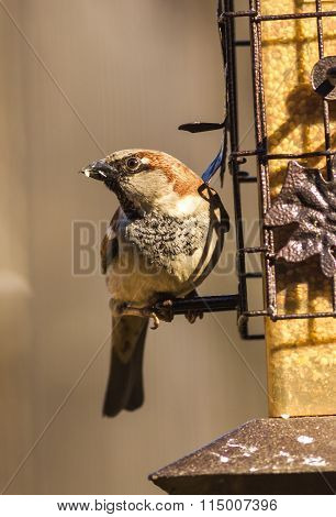 House Sparrow (passer Domesticus) Feeding