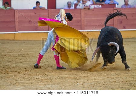The spanish bullfighter Curro Jiménez with the capote bullfigh the bull in the bullring of Cabra, p