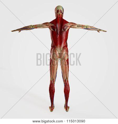 Anatomy Back