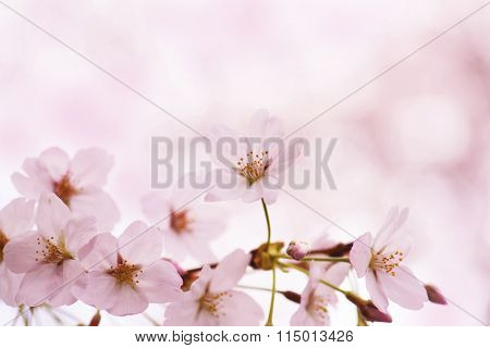 Cherry blossoms in soft and tender pastel pink. Intentionally shot with shallow depth of field.