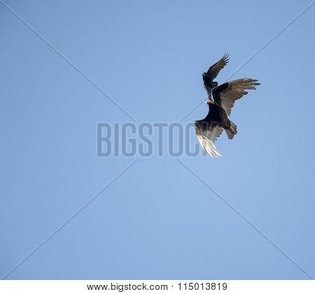 Crow Mobbing Vulture