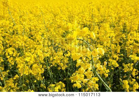 Ripe Rape field