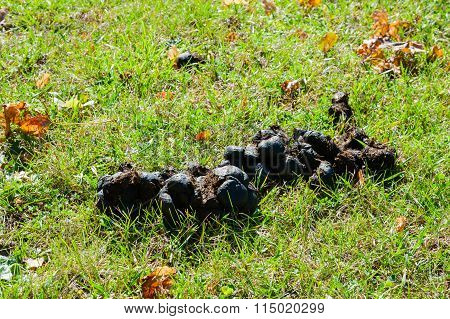 Horse Manure Drying In Sun On Grass