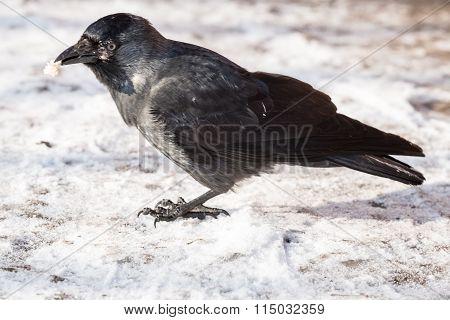 Common Raven (corvus Corax). Wild Life Animal.