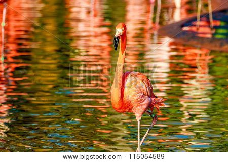 Flamingo Wading Water