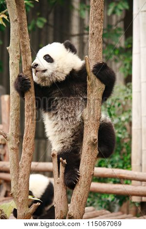 Baby of Giant panda bear