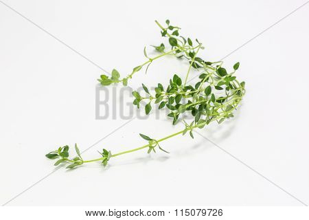 Thymus Citriodorus Lemon Thyme