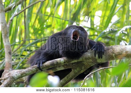 Black Howler Monkey, In Belize, Howling