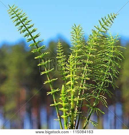 Horsetail Or Common Horsetail, Or Tolkachik (equisetum Arvense)