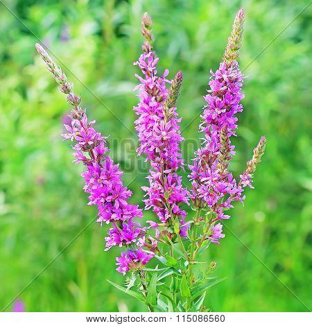 Plakun-grass (l?thrum Salic?ria)