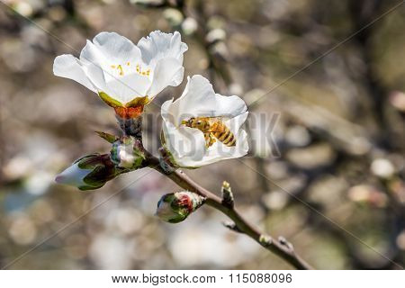 Branch of blooming almond tree