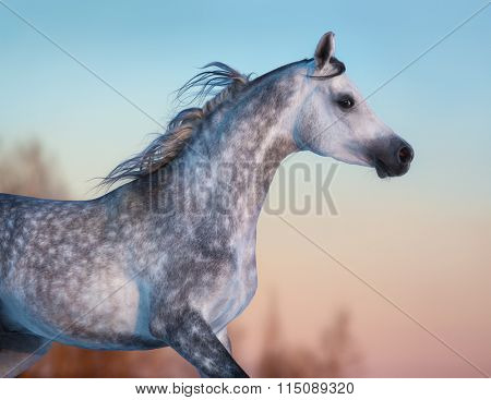 Portrait of gray purebred Arabian horse on background of evening sky