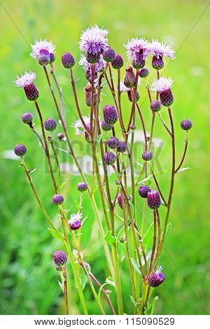 The Weed Field Or Sow-thistle Pink (cirsium Arvense)