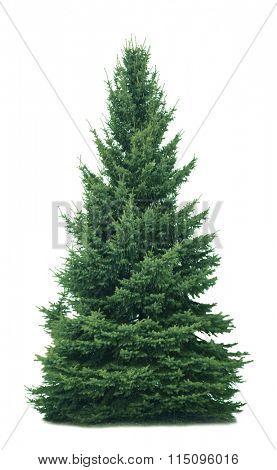 Spruce tree isolated on white background