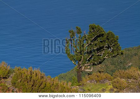 Ancient laurel tree high above the coastline of the north coast of Madeira Portugal