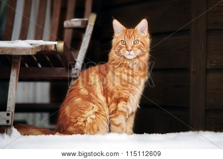 young maine coon cat outdoors in winter