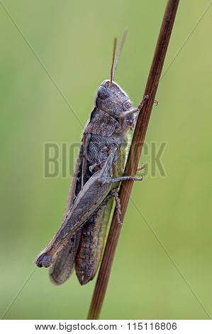Grasshopper (Chorthippus Brunneus)