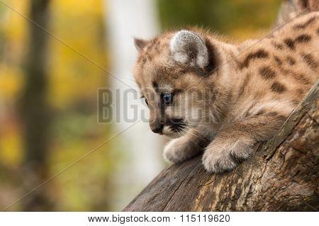 Female Cougar Kitten (puma Concolor) Looks Down