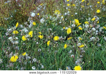 Field Sow Thistles
