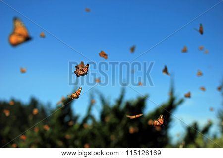 Monarch Butterfly Flying